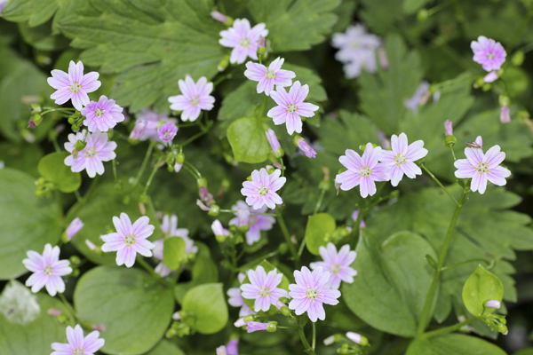 MNA Coombes Valley Pink Purslane1