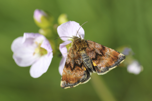 MNA Coombes Valley Small Yellow Underwing1