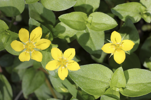 MNA Coombes Valley Yellow Pimpernel1