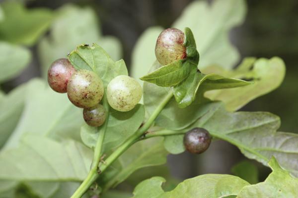MNA Cynwyd Oak Currant Galls1