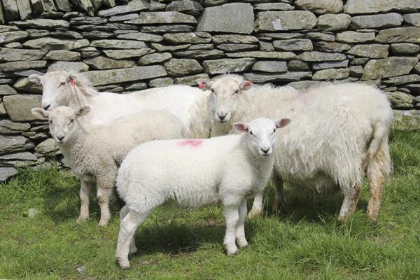 MNA Cynwyd Sheep1