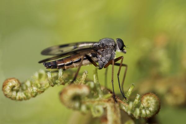 MNA Cynwyd Snipe Fly1