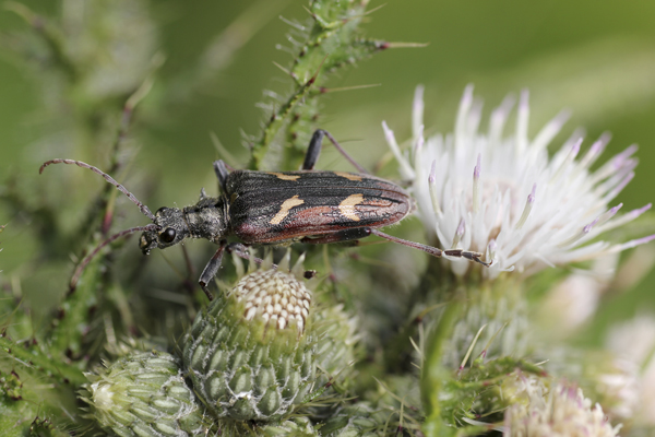 MNA Cynwyd Two Banded Longhorn Beetle1