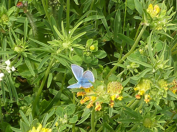 24 Roby Common Blue