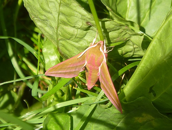 26 Childwall elephant hawkmoth
