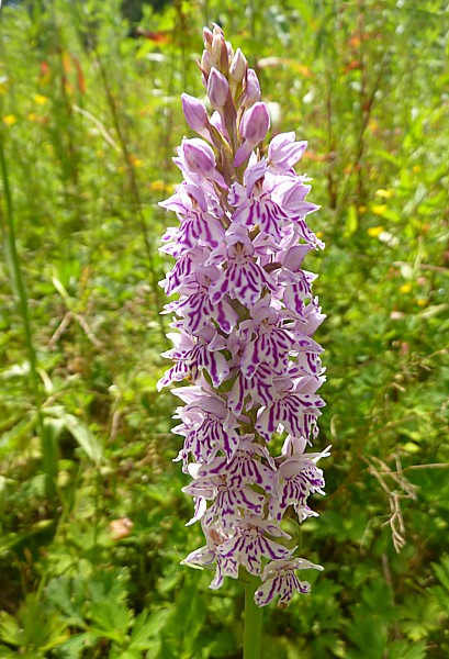 26 Childwall orchid 2