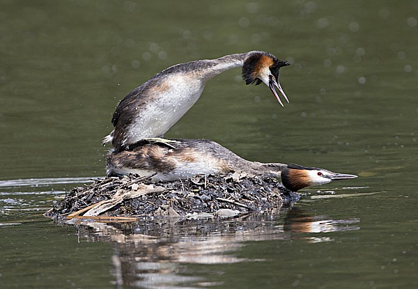 Grebes Mating