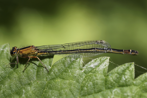 MNA Norfolk Blue Tailed Damsel Orange Form1