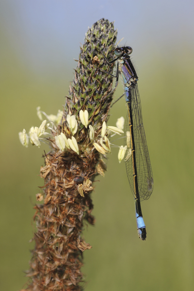 MNA Norfolk Blue Tailed Damselfly1