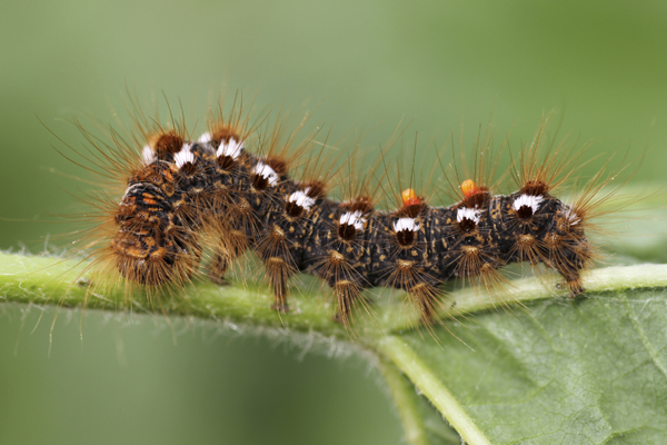 MNA Norfolk Brown Tail Moth Caterpillar1