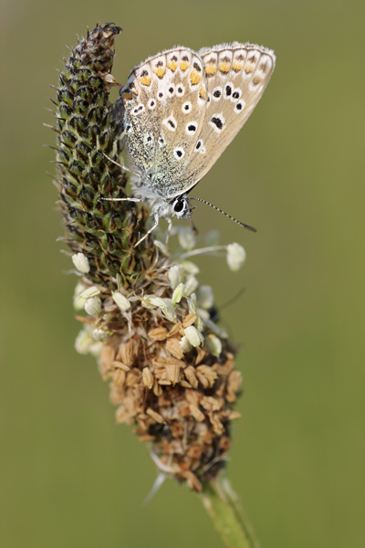 MNA Norfolk Common Blue1