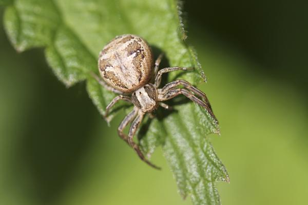 MNA Norfolk Crab Spider1