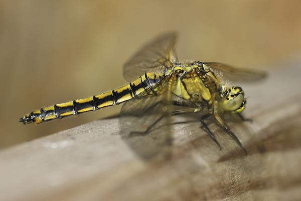 MNA Norfolk Dragonfly1