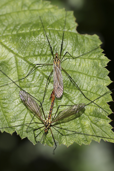 MNA Norfolk Mating Tiger Craneflies1