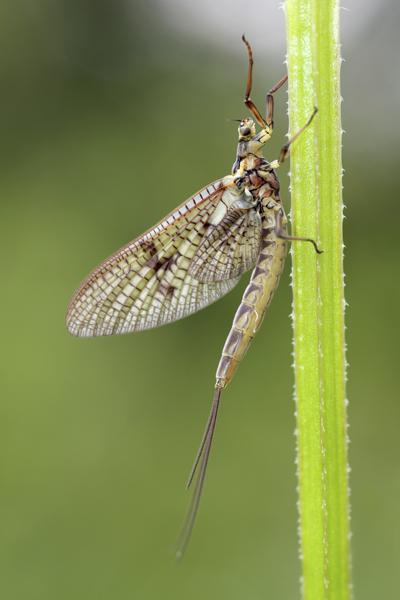 MNA Norfolk Mayfly1