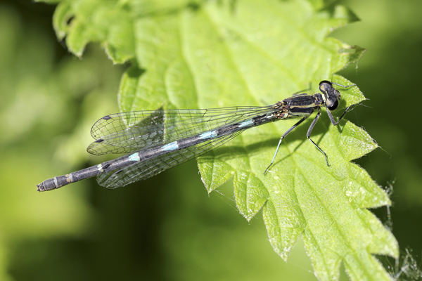 MNA Norfolk Variable Damselfly1