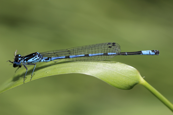 MNA Norfolk Variable Damselfly2