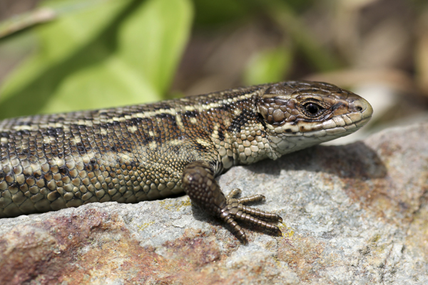 MNA South Stack Common Lizard1