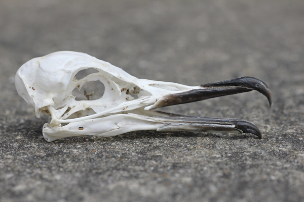 MNA South Stack Manx Shearwater Skull1