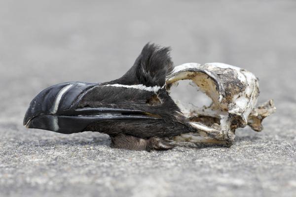 MNA South Stack Razorbill Skull1