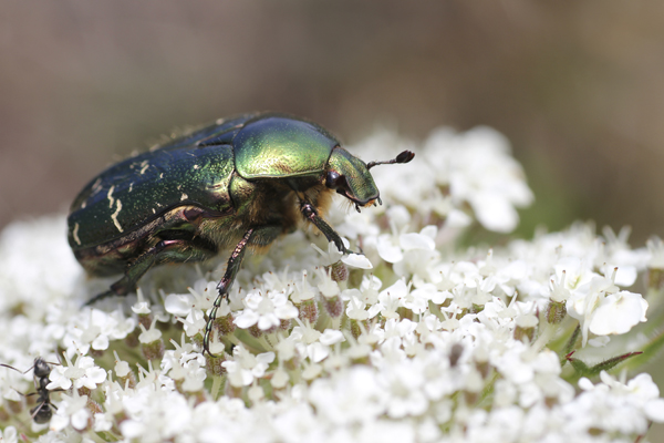 MNA South Stack Rose Chafer1