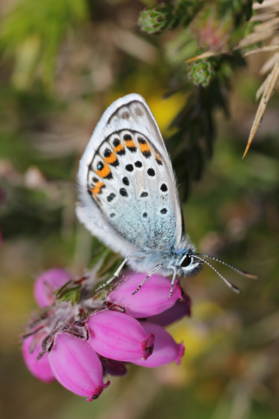 MNA South Stack Silver Studded Blue