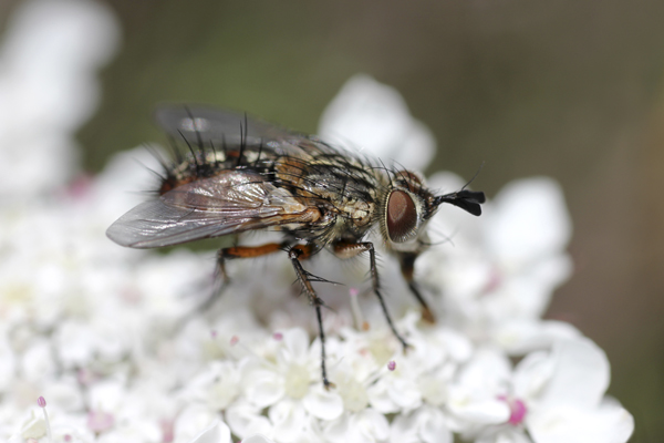 MNA South Stack Tachinid Fly1