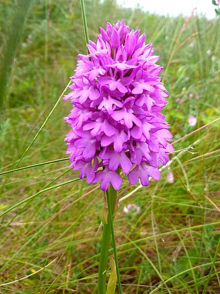 27 Velvet pyramidal orchid