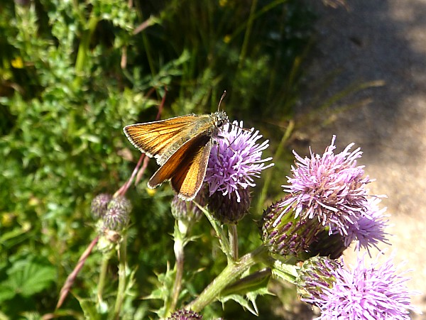 28 Freshfield small skipper