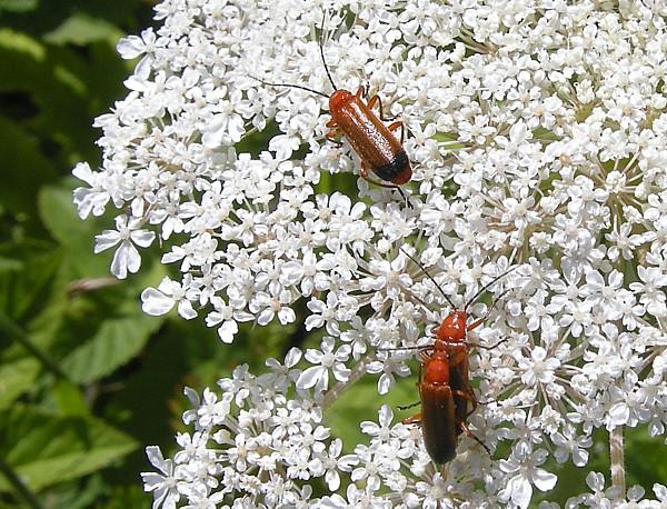 28 Freshfield soldier beetles