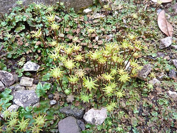 29 Kirkby liverwort fruiting