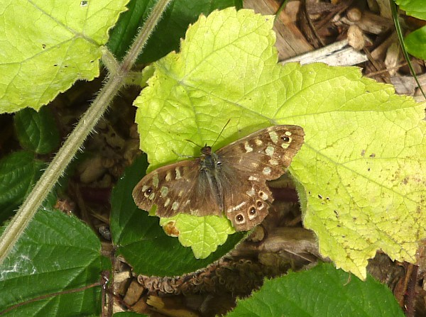 29 Kirkby speckled wood