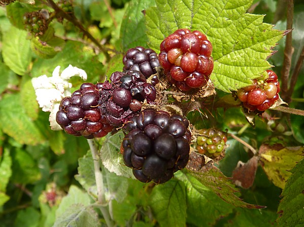 30 Ainsdale blackberries