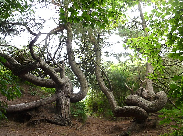 30 Ainsdale gnarled trees