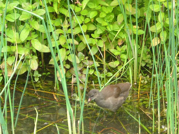 30 Ainsdale moorhen chick