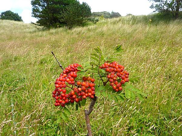 30 Ainsdale rowan red