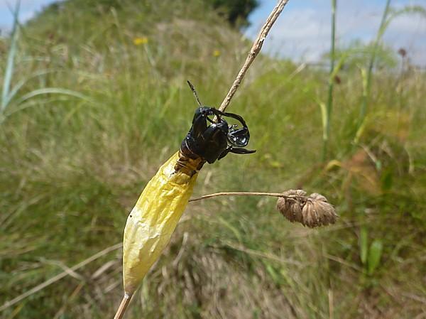 31 Marshside Burnet pupal debris