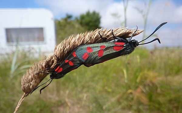 31 Marshside Burnets mating
