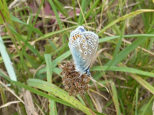 31 Marshside Common Blue
