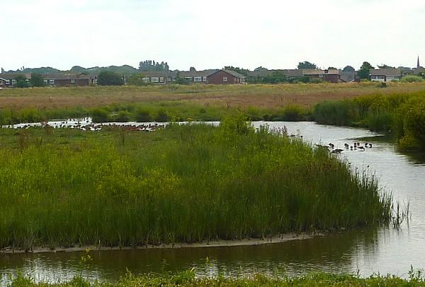 31 Marshside Godwits