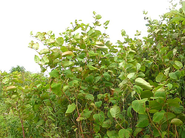 31 Marshside Knotweed