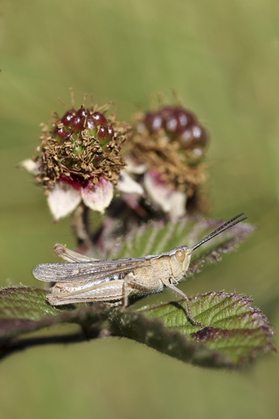 MNA Arnside Grasshopper1