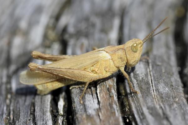 MNA Arnside Grasshopper2