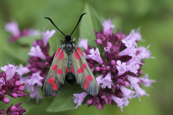 MNA Oswestry Burnet Moth1