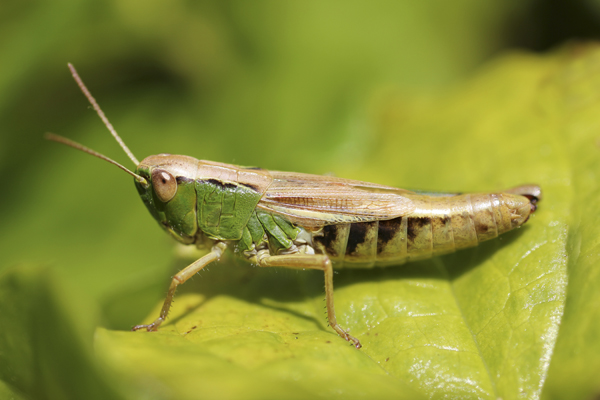 MNA Oswestry Grasshopper1