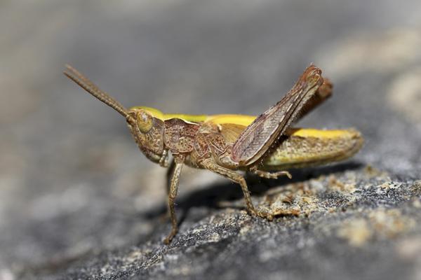 MNA Oswestry Grasshopper2