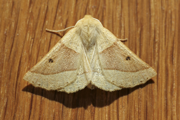 MNA Scalloped Oak Moth1