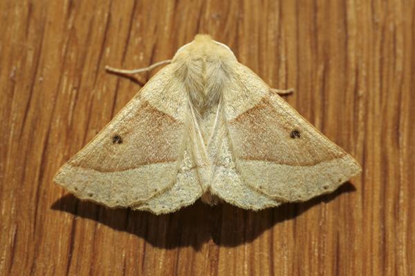 MNA Scalloped Oak Moth1