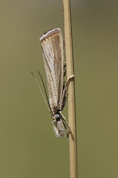 MNA Warton Grass Moth1