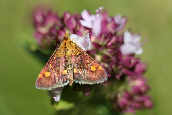 MNA Warton Pyrausta purpurella1